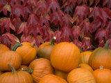 Autumnal Display of Pumpkins Against Virginia Creeper at Organic Farm Shop, Cumbria, UK Photographic Print by Steve & Ann Toon