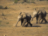 Baby Elephants, Running Towards Water in Addo Elephant National Park, South Africa Photographic Print by Steve & Ann Toon