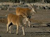 Eland (Taurotragus Oryx), Etosha National Park, Namibia, Africa Photographic Print by Steve & Ann Toon