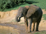 African Elephant (Loxodonta Africana), Addo National Park, South Africa, Africa Photographic Print by Steve & Ann Toon