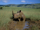 White Rhino (Rhinoceros Simum) Cooling Off, Itala Game Reserve, South Africa, Africa Photographic Print by Steve & Ann Toon