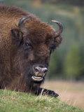 European Bison, Captive at Highland Wildlife Park, Kingussie, Scotland, United Kingdom Photographic Print by Steve & Ann Toon