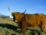 Highland Cattle Conservation Grazing on Arnside Knott, Cumbria, United Kingdom Photographic Print by Steve & Ann Toon