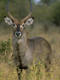Waterbuck (Kobus Ellipsiprymnus), Kruger National Park, South Africa, Africa Photographic Print by Steve & Ann Toon