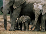 African Elephant (Loxodonta Africana) in Matriarchal Group, South Africa, Africa Photographic Print by Steve & Ann Toon