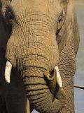 Bull Elephant, Loxodonta Africana, Addo Elephant National Park, Eastern Cape, South Africa Photographic Print by Steve & Ann Toon
