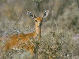 Female Steenbok (Raphicerus Campestris), Etosha National Park, Namibia, Africa Photographic Print by Steve & Ann Toon