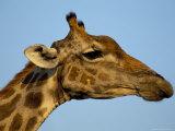Head of a Giraffe (Giraffa Camelopardalis), South Africa, Africa Photographic Print by Steve & Ann Toon