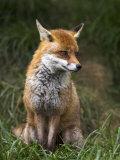 Red Fox, Vulpes Vulpes, Captive, United Kingdom Photographic Print by Steve & Ann Toon