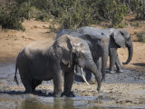 Elephants, Splashing in Muddy Water in Addo Elephant National Park, South Africa Photographic Print by Steve & Ann Toon