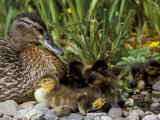 Mallard (Anas Platyrhyncos) with Ducklings, United Kingdom Photographic Print by Steve & Ann Toon