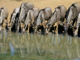 Blue Wildebeest (Connochaetes Taurinus) Drinking at Waterhole, Mkuze, South Africa, Africa Photographic Print by Steve &amp; Ann Toon