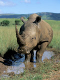 White Rhino (Ceratotherium Simum) Cooling Off, Itala Game Reserve, South Africa, Africa Photographic Print by Steve & Ann Toon