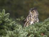 European Eagle Owl, Bubo Bubo, Female, Captive, World Owl Trust, Muncaster Castle, Cumbria Photographic Print by Steve & Ann Toon