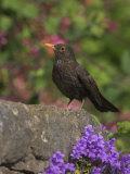 Female Blackbird (Turdus Merula), on Garden Wall in Early Summer, United Kingdom Photographic Print by Steve & Ann Toon