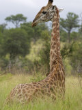 Giraffe, Giraffa Camelopardalis, Kruger National Park, Mpumalanga, South Africa, Africa Photographic Print by Steve & Ann Toon