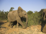 Baby Elephant, Following Herd in Addo Elephant National Park, South Africa Photographic Print by Steve & Ann Toon