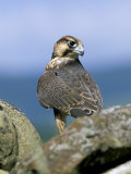 Captive Peregrine (Falco Peregrinus), United Kingdom Photographic Print by Steve & Ann Toon