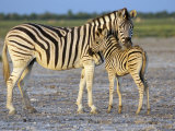 Burchell's Zebra (Equus Burchelli) with Foal, Etosha National Park, Namibia Photographic Print by Steve & Ann Toon