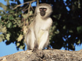 Vervet Monkey (Cercopithecus Aethiops), Kruger National Park, South Africa, Africa Photographic Print by Steve & Ann Toon