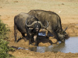 Cape Buffalo, Syncerus Caffer, at Water, Addo Elephant National Park, South Africa, Africa Photographic Print by Steve & Ann Toon