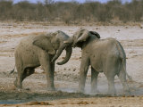 Two African Elephants (Loxodonta Africana) Fighting, Etosha National Park, Namibia, Africa Photographic Print by Steve & Ann Toon