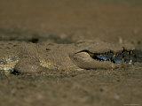 Nile Crocodile (Crocodylus Niloticus), Kruger National Park, South Africa, Africa Photographic Print by Steve & Ann Toon
