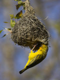 Cape Weaver, Ploceus Capensis, at Nest, Western Cape, South Africa, Africa Photographic Print by Steve & Ann Toon