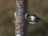 Coal Tit (Parus Ater), Taking Sunflower Seed from Feeder in Winter in the Garden Photographic Print by Steve & Ann Toon