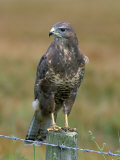 Captive Buzzard (Buteo Buteo), United Kingdom Reproduction photographique par Steve & Ann Toon