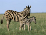 Burchell&#39;s (Plains) Zebra and Newborn Foal (Equus Burchelli), Etosha National Park, Namibia, Africa Photographic Print by Steve &amp; Ann Toon