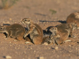 Ground Squirrel Family at Burrow, Kgalagadi Transfrontier Park, South Africa, Africa Photographic Print by Steve & Ann Toon