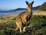 Eastern Grey Kangaroo on Beach, Murramarang National Park, New South Wales, Australia Fotografisk tryk af Steve & Ann Toon