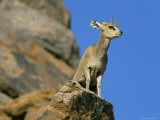 Klipspringer (Oreotragus Oreotragus), Augrabies Falls, South Africa, Africa Photographic Print by Steve & Ann Toon