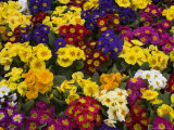 Primulas, Mixed Colours, United Kingdom Photographic Print by Steve & Ann Toon