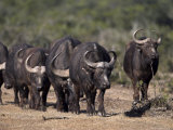 Cape Buffalo, Syncerus Caffer, Addo Elephant National Park, South Africa, Africa Photographic Print by Steve & Ann Toon