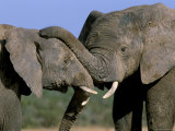 Two African Elephants (Loxodonta Africana), Greater Addo National Park, South Africa, Africa Photographic Print by Steve & Ann Toon