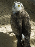 Desert Eagle Photographic Print by Nico Tondini