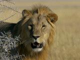 Lion (Panthera Leo), Etosha, Namibia, Africa Photographic Print by Steve & Ann Toon