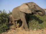 Elephant, Loxodonta Africana, Close to Addo Elephant National Park, Eastern Cape, South Africa Photographic Print by Steve & Ann Toon