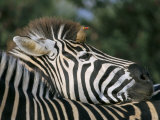 Redbilled Oxpecker on Burchell&#39;s Zebra, Kruger National Park, South Africa Photographic Print by Steve &amp; Ann Toon