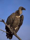 Whitebacked Vulture (Gyps Africanus), Etosha National Park, Namibia, Africa Reproduction photographique par Steve & Ann Toon