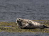 Common (Harbour) Seal, Phoca Vitulina, Wester Ross, Scotland, United Kingdom Photographic Print by Steve & Ann Toon