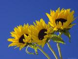 Three Sunflowers Blooms, Helianthus Annuus, United Kingdom Photographic Print by Steve & Ann Toon