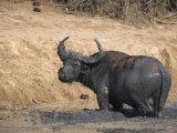 Cape Buffalo, Syncerus Caffer, Mud-Bathing, Addo Elephant National Park, South Africa, Africa Photographic Print by Steve & Ann Toon