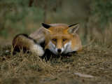 Captive Red Fox (Vulpes Vulpes), United Kingdom Photographic Print by Steve & Ann Toon