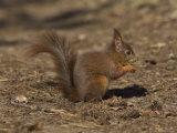 Red Squirrel, Sciurus Vulgaris, Formby, Liverpool, England, United Kingdom Photographic Print by Steve & Ann Toon