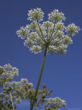Hogweed, Heracleum Sphondylium, United Kingdom Photographic Print by Steve & Ann Toon