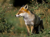 Captive Red Fox (Vulpes Vulpes), United Kingdom Photographic Print by Steve & Ann Toon