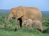 African Elephant (Loxodonta Africana) with Calf, Addo National Park, South Africa, Africa Photographic Print by Steve & Ann Toon